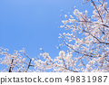 Cherry Blossom. A symbolic flower tree in Japan. 49831987