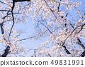 Sakura and sky 49831991