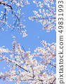 Sakura and sky 49831993
