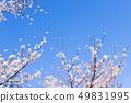 Sakura and sky 49831995