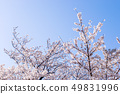 Sakura and sky 49831996