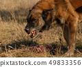 aggressive belgian shepherd 49833356