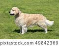 Golden Retriever in the spring garden 49842369