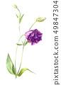 Light purple flower eustoma or lisianthus 49847304