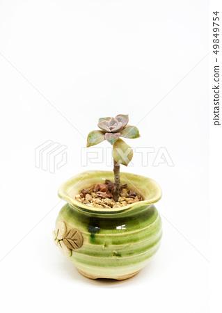 Fleshy plant on white background. 49849754