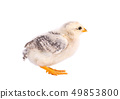 Small chicken isolated on white background. Newborn chicken with clipping path. 49853800