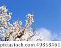 Plum tree, plum flower, 49858461