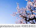 Plum tree, plum flower, 49858463