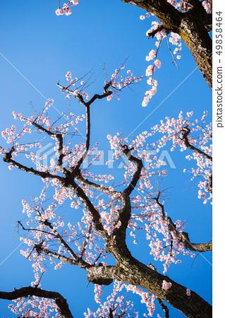 Plum tree, plum flower, 49858464