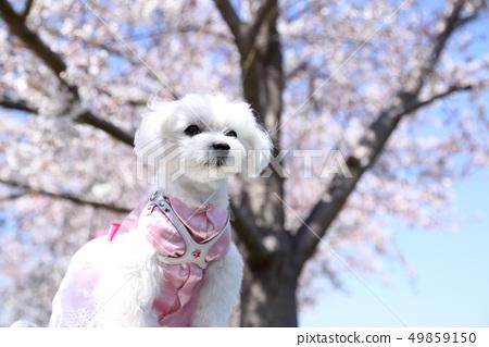 櫻花和馬丁內斯 49859150