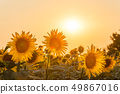 Farmland view with sunflowers field 49867016