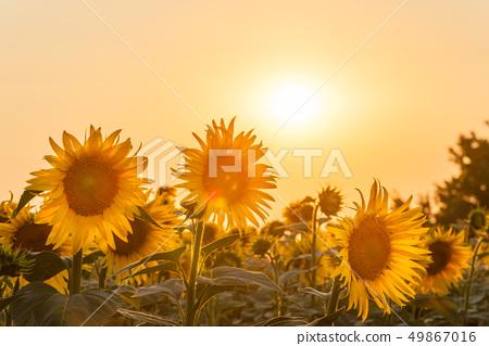 Farmland view with sunflowers field 49867016