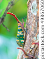 Lanternfly on the tree trunk 49867060