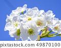 배꽃 배 꽃없는 꽃 49870100
