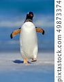 Gentoo penguin jumps out of the blue water 49873374