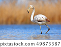 Young Greater Flamingo, Phoenicopterus ruber 49873387
