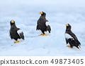 Three Steller's sea eagles on ice. Widlife Japan.  49873405