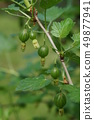 Green, unripe gooseberry berries on a branch 49877941