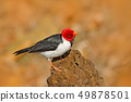 Yellow-billed Cardinal, Paroaria capitata 49878501