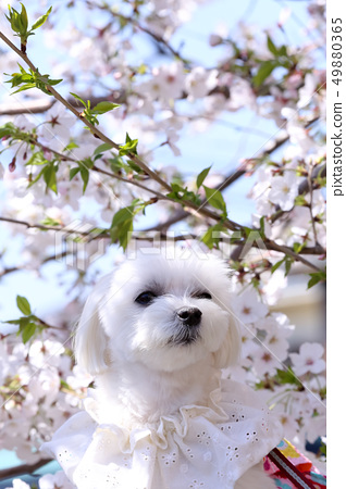 櫻花和馬丁內斯 49880365