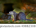 North American river otter, Lontra canadensis 49882308
