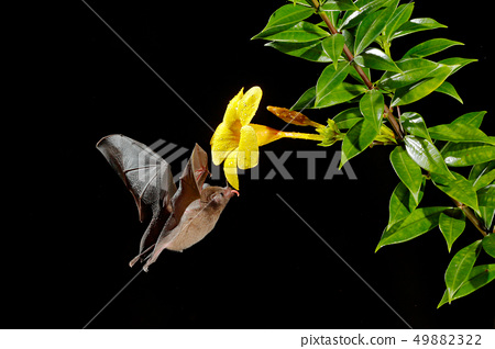 Orange nectar bat, Lonchophylla robusta 49882322