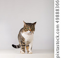 adorable striped cat 49888366