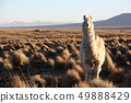 A Lama looks into the lens in the Altiplano in Bolivia 49888429