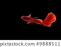 Red color Siamese fighting fish(Rosetail), 49888511