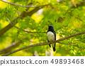 Ooruri male in fresh green 49893468