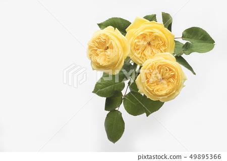 父親節的黃玫瑰 49895366