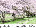 효고현 사사 야마시 벚꽃길 49901459