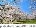 舎人公園의 벚꽃 풍경 49902434