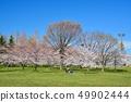 舎人公園의 벚꽃 풍경 49902444
