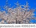 舎人公園의 벚꽃 풍경 49902445