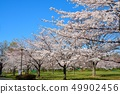 舎人公園의 벚꽃 풍경 49902456