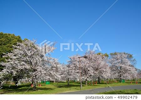 舎人公園의 벚꽃 풍경 49902479