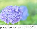 ดอกไม้ไฮเดรนเยีย 49902712