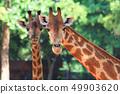 Two head giraffe. 49903620