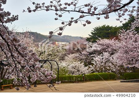 Scenery of cherry blossom festival in spring of 2019 in Seodaemun Ansan 49904210