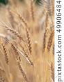 麥田收穫的小麥耳朵 49906484