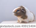 Guinea pig, portrait of a domestic cavy. 49915404