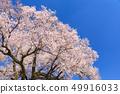ดอกซากุระบานเต็ม 49916033