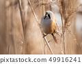 Bearded Parrotbill (Panurus biarmicus) 49916241