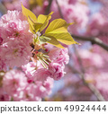 close up beautiful perfect blooming pink sakura cherry blossom or Japanese cherry Prunus serrulata 49924444