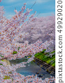Scenery of a full bloom cherry blossoms and a river full of emotions 49929020