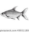 Java barb fish ( Barbonymus gonionotus). Vector 49931189