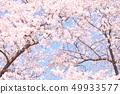 푸른 하늘과 벚꽃 49933577