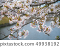 Cherry Blossoms 49938192