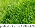 아침 이슬 빛나는 신록의 말꼬리 잔디 49942420